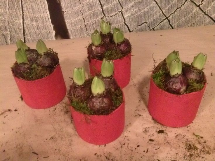 Planta svibler