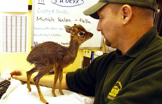 This is a dik dik. It is a miniature antelope and I would like one for my birthday.