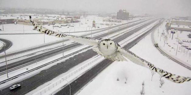 La webcam sul traffico cattura il volo del gufo delle nevi