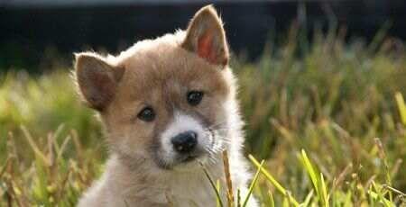 Dingo pup at Healesville Sanctuary