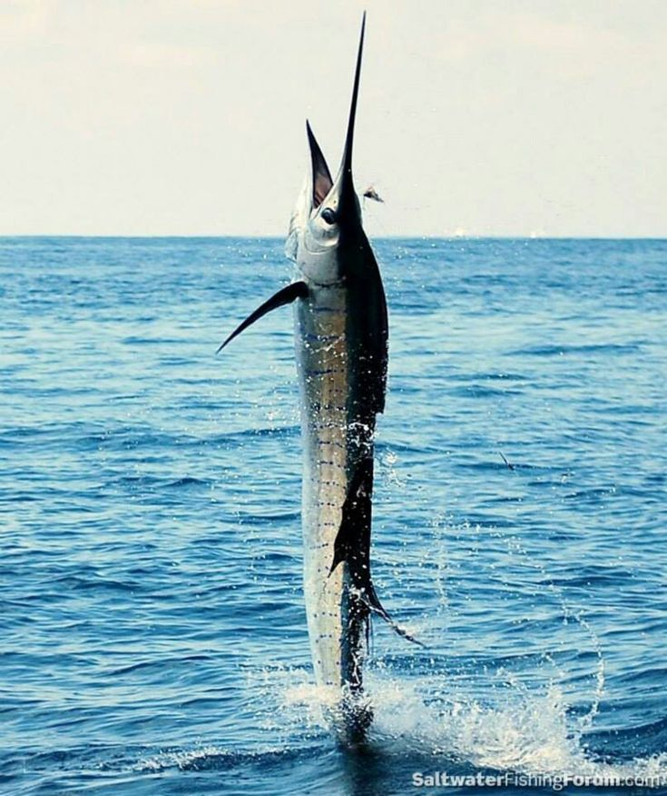 pelagic fish and swordfish Severity of atlantic population declines, the causes  types primarily to catch swordfish and tunas but drift or pelagic  pelagic fish in longline.