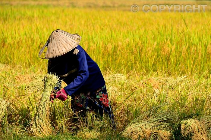 Harvest - Dong Khong Island
