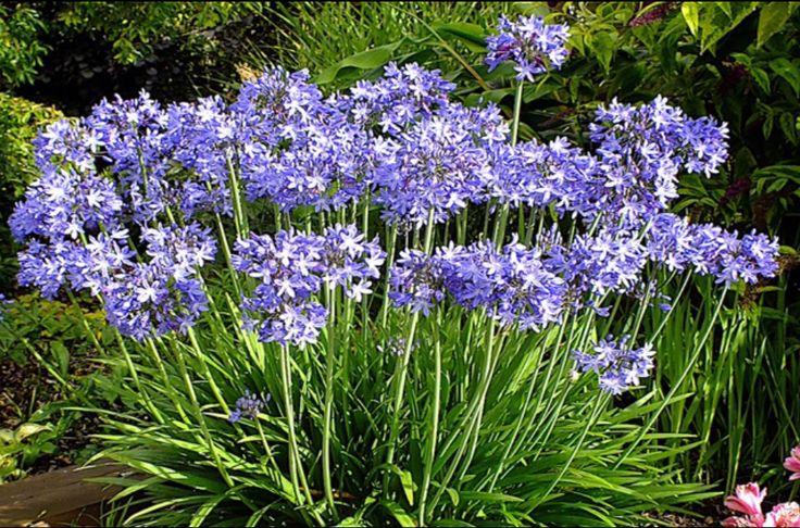 1000 id es sur le th me agapanthus africanus sur pinterest jardins blancs belles fleurs et - Flowers that love full sun and heat ...