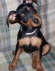 Min Pin Pups. Miniature Pinscher puppies @ www.pups4sale.com.au