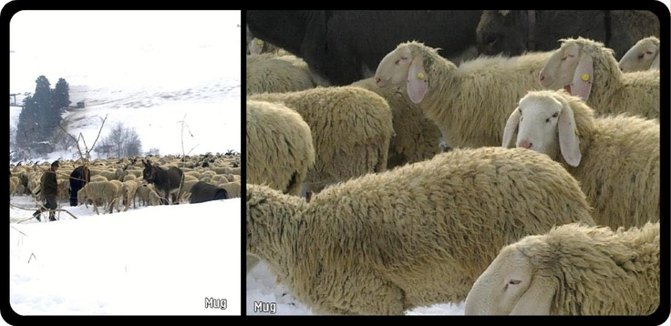 Winter transhumance in Langhe (Italy)  Photo@Barbara Mugnai