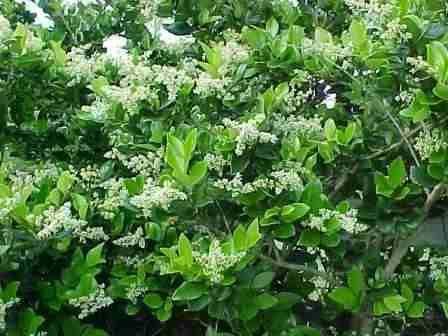 Olea texana verde p cerco jardineria pinterest for Viveros en talca
