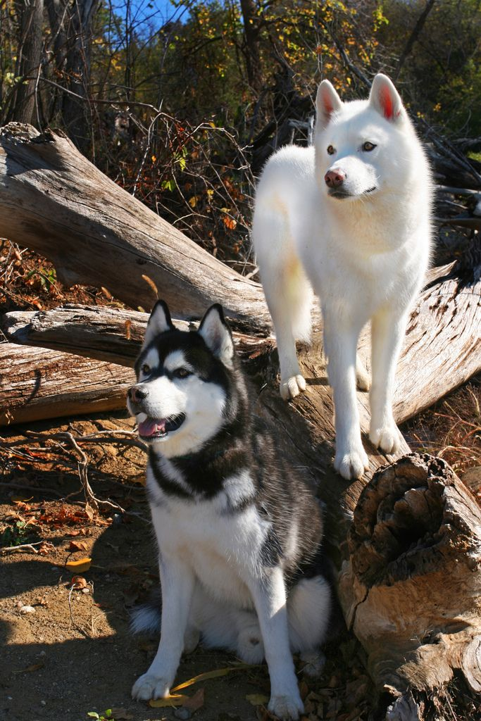 Siberian Huskies  - hmmm do u see any squirrels we can chase lol