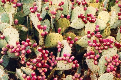 Prickly Pear Seed Oil contains a remarkable 80% fatty acid content, 62% of which is made up of linoleic acid. This makes Prickly Pear Seed Oil an incredibly potent moisturizer and antioxidant.