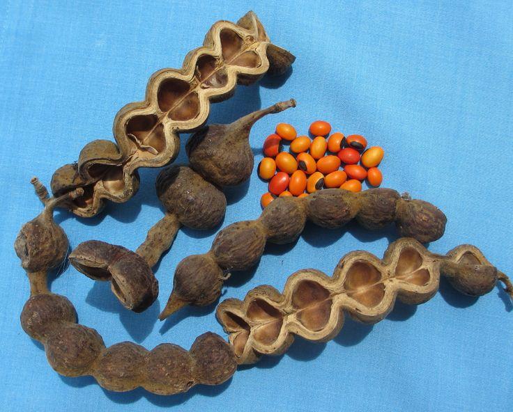 Erythrina pods_and_seeds