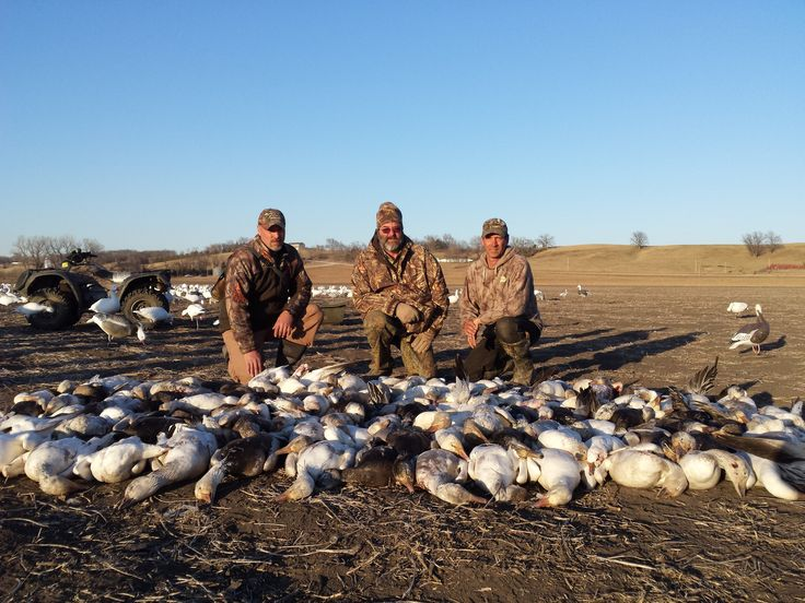 Booked a guided snow goose hunting trip? Find out what to expect from your snow goose hunting outfitter and how many birds you can expect to harvest.