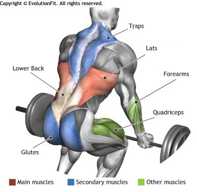 lats - barbell deadlift | anatomy | pinterest | barbell deadlift, Human Body