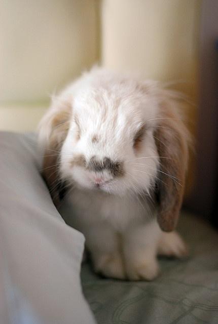 un lapin belier????... MAIS nn c pas un lapin sur un belier c un lapin belier