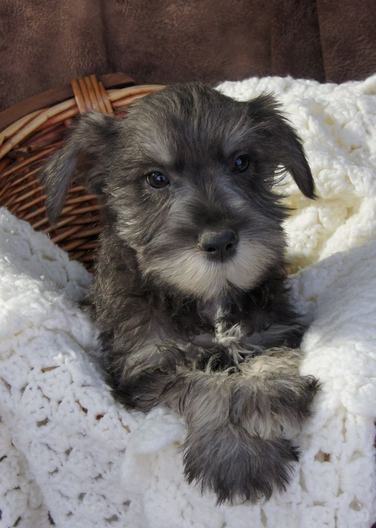 Miniature Schnauzer Puppies for sale Salt and Pepper Color
