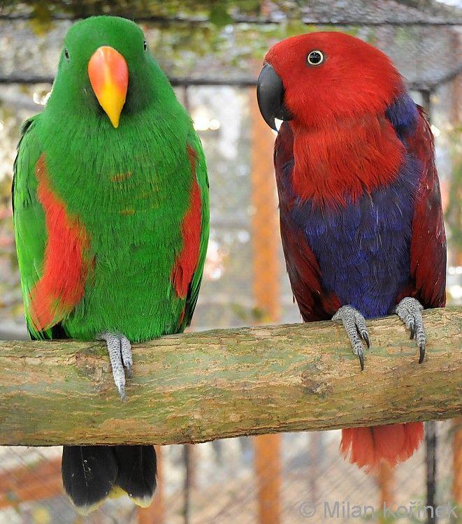 Eclectus roratus solomonensis - Solomon Islands Eclectus Parrot