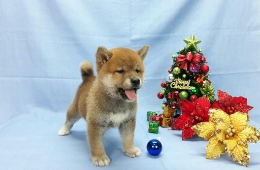 Shiba Inu Puppy For Sale In Los Angeles Ca Adn 69601 On
