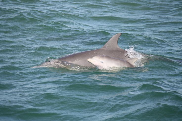 A really new baby dolphin still showing it's foetal stripes from being folded up in its mother's womb.