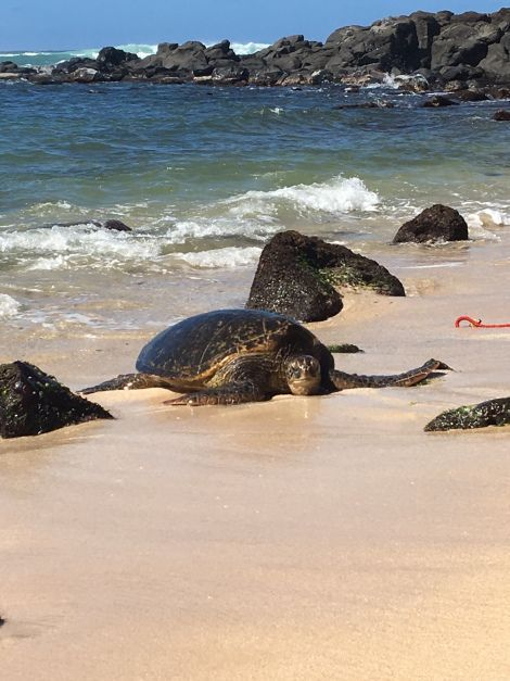 Turtle Beach North S Oahu Hawaii Hawaiipins