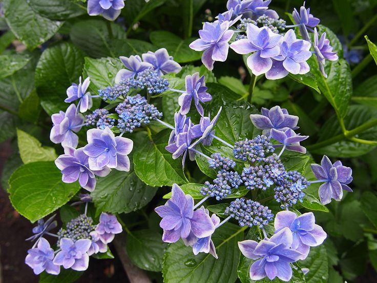 金平糖という名前の紫陽花