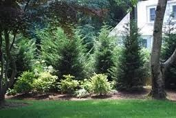 Leland Cyprus - grows up to 6' per year up to 30' tall, 10'-20' wide.