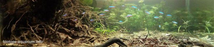 Clarity branch of a river, Amazon, 120 L – Biotope Aquarium