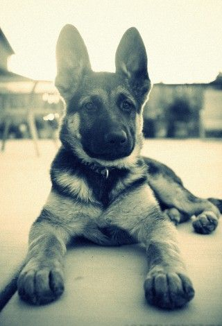 German Sheperd puppy.