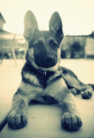 German Sheperd puppy.