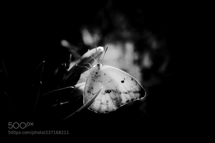 Mariposas Amarillas by Wikibuda0