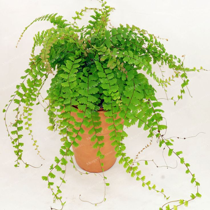 Hot Selling Adiantum capillus Maidenhair Fern Seeds  Cultivation Is Easy Suitable For Indoor Perennial Potted Ornamental 100 Pcs