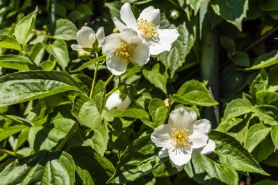 Transplanting Mock Orange Shrubs: Learn When To Transplant Mock Orange - If you are planting or transplanting mock orange shrubs, you'll need to know how and when to start the process. For information about how to transplant a mock orange shrub, this article can help. Click here to learn more.
