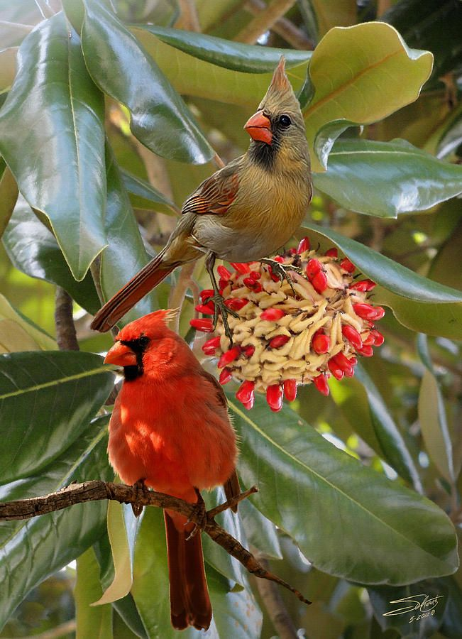 This is one of my favorite birds, plus it is the state bird of Ohio.  Love there call to each other.  Cardinals In Magnolia Tree
