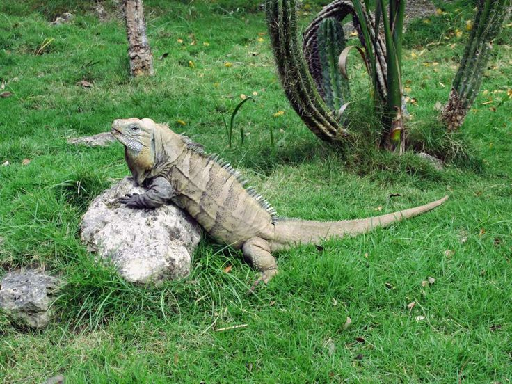 The Parque Zoológico Nacional in,Santo Domingo, Dominican Republic, has a captive breeding program for the critically endangered Ricord's iguana (Cyclura ricordi).
