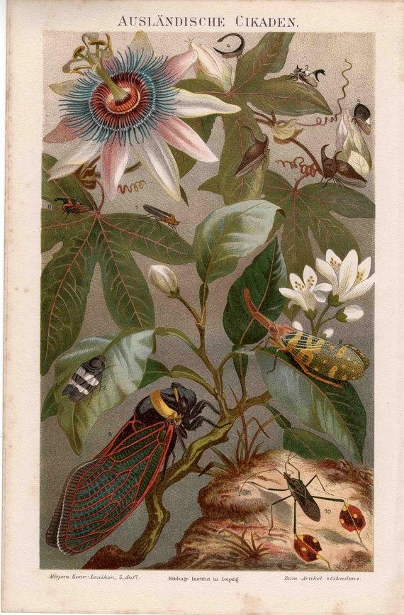 1894 cicada insects original antique bug print.