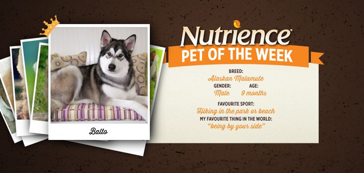 Balto is one reliable husky and that's why he's Nutrience Pet Of The Week! Submit your pet here: Kesa is a playful cat who enjoys wrestling with Raptor. We wonder who wins? Submit your pet here http://bit.ly/PetOfWeek #cute #dog