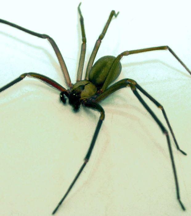 L'araignée recluse dispose d'un venin extrêmement toxique capable de provoquer la nécrose des tissus de ses victimes après les avoir mordues.