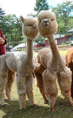 cute baby alpaca | Isn't it adorable? Here it is with a friend:
