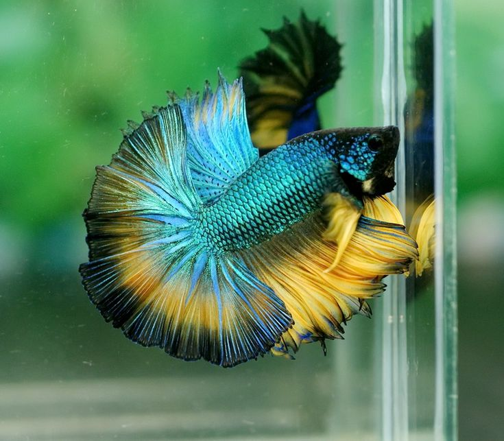 105 best images about betta splendens on pinterest for Baby betta fish