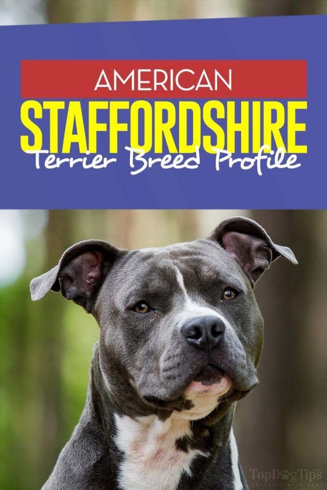 American Staffordshire Terrier Breed Information Photos History