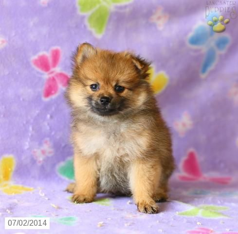pomeranian breeders in pa 92 best images about adorable toy puppies for sale on 5711