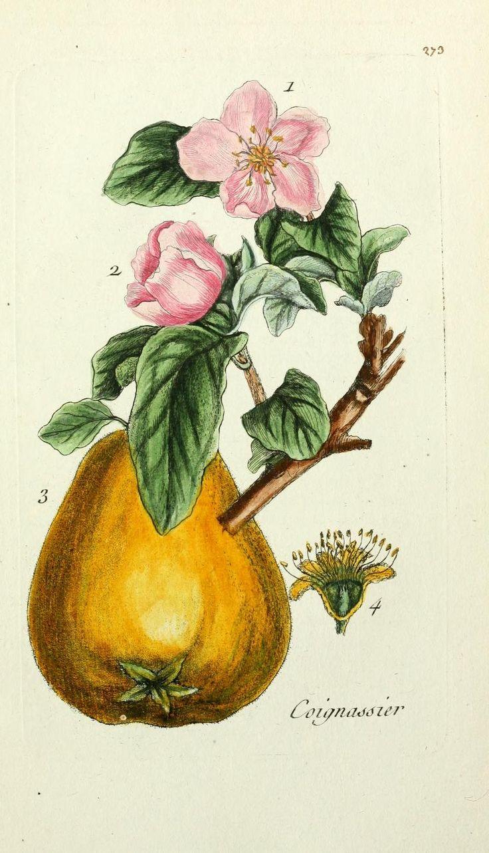 3 - Flora Parisiensis, - Biodiversity Heritage Library