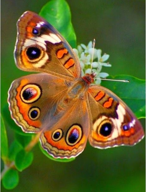 Pin Von Monika Bastelfreundin Auf Schmetterlinge Motten Tiere Schone Schmetterlinge Bilder