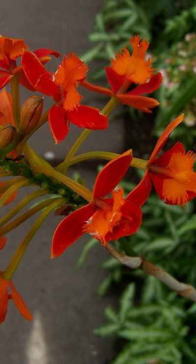 Epidendrum secundum commonly called crucifix orchid, is pollinated by ants so don't remove the ants on your orchids.