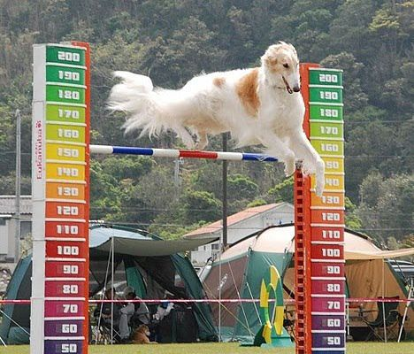 Borzoi is jumping. That is a jump!!! #animals #dogs #borzoi