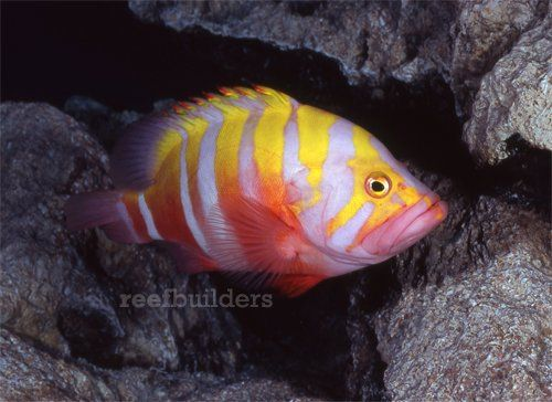 These are five of the rarest marine aquarium fish that are capable of being purchased. Collectors of rare fish will definitely want to check out this article.