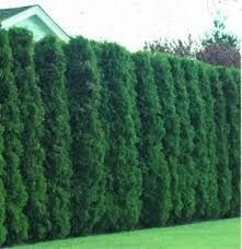'Green Giant' arborvitae is a large, vigorous, fast growing evergreen. This is an exceptional landscape tree for use as a screen, hedge or windbreak. It is tolerant of a wide variety of soils, but prefers moist, well drained soil, sun to partial shade. Under good growing conditions, it can grow up to 3' a year to a height of 50'-60' with a 12'-20' spread. Plant 5'-6' apart for very fast screen, otherwise 10'-15' apart