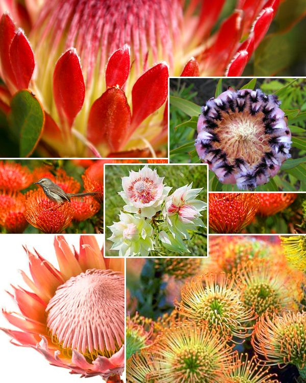 Protea Wedding Flowers: 72 Best Images About Protea :) On Pinterest