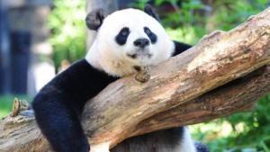Yeay Panda Raksasa Sudah Tidak Terancam Punah