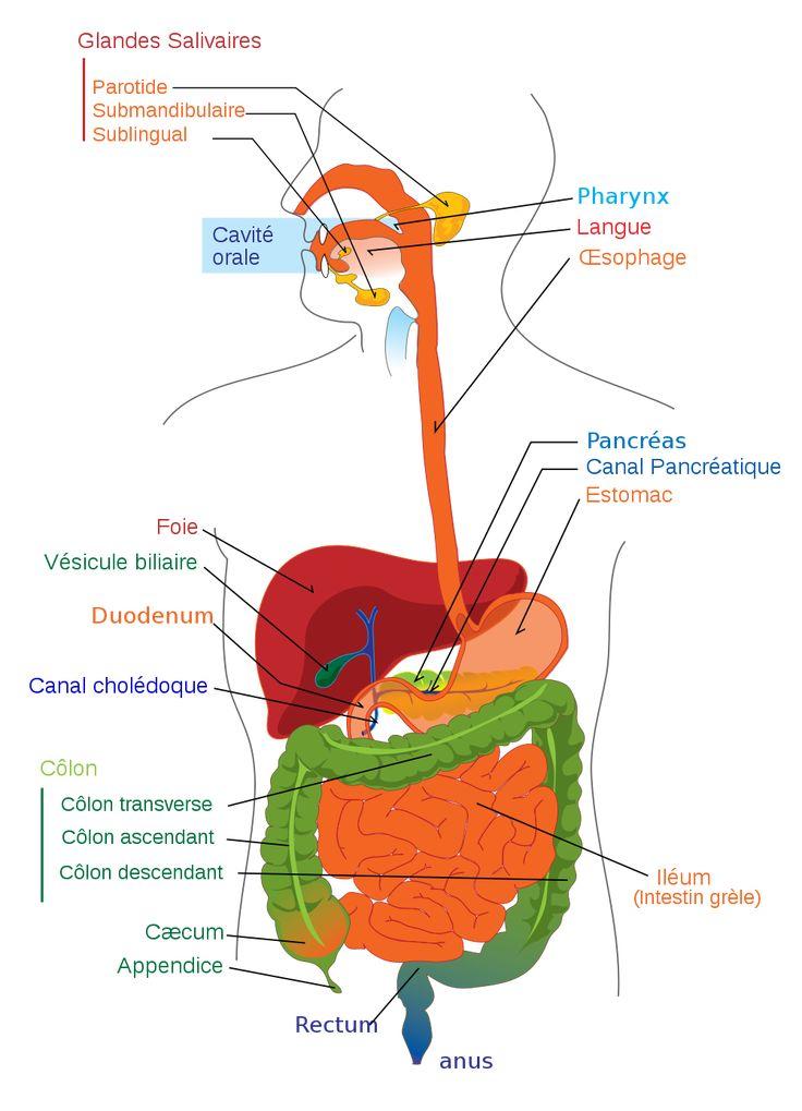 Bibliothèque virtuelle L'anatomie du système digestif