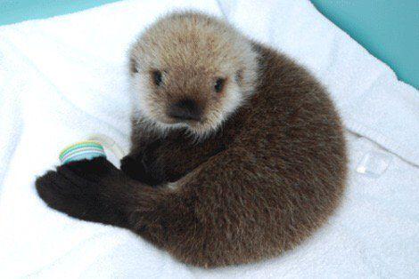 Huge congratulations to @ZooeyDeschanel and Jacob Pechenik! Here is a baby sea otter in honor of Elsie Otter