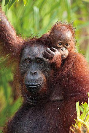 Mother and child Orangutans, Tanjung Puting National Park, Borneo, Indonesia
