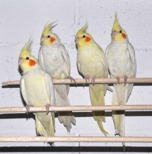 Ninfas amarillas